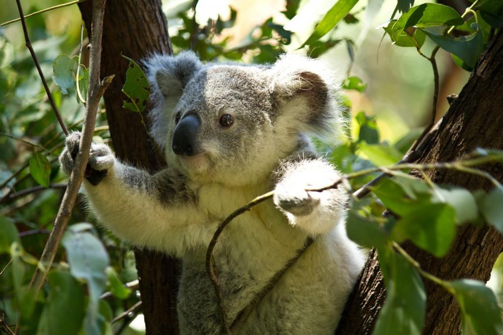 koala-74908_1280